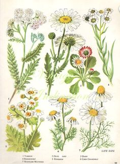 Vintage Botanical Print Antique Daisy