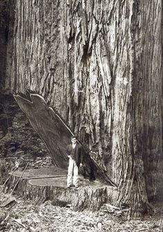 sequoia tree logging | Falling the Big Ones, or cutting down a coastal redwood by hand...such a damned shame