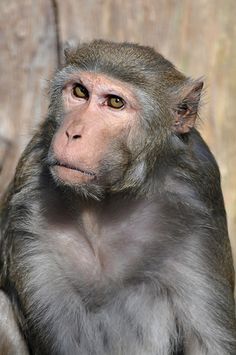 Rhesus Macaque - sadly the most common monkey used in laboratory experiments Primates, Mammals, Ape Monkey, Monkey Art, Monkey King, Animals And Pets, Funny Animals, Cute Animals, Rhesus Monkey