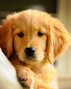 Puppy Love adorable puppy golden retriever by DennysGirlPhotos
