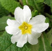 Primula vulgaris var. alba (White primrose) Get care advice to your inbox every month - add this plant to your personal list.
