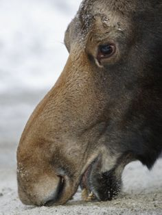 Close Up of a Moose Licking at a Salt Lick (Alces Alces), North America by Garth McElroy Moose Pictures, Wild Animals Pictures, Moose Pics, Moose Deer, Bull Moose, Animal 2, Animal Faces, Albino Moose, Animals And Pets