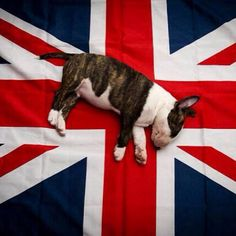 bullterrier... as a 'relocated Brit' I couldn't resist this. LOVE it :)