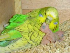Budgie with baby