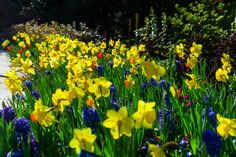 Daffodils, Hyacinths, Dallas Blooms 2014, Dallas Arboretum, Garden, Spring Blooms