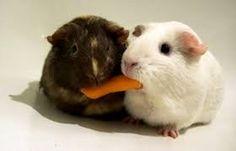 tipos de roedores mascotas - Buscar con Google
