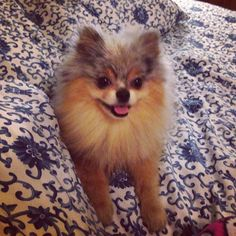 Love my Pom!! Meet Bear the blue tan and Merle Pomeranian