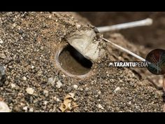 How a tarantula builds a trapdoor lid on its burrow - YouTube