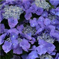Hydrangea macrophylla  'Blaumeise' ('Teller Blue')