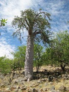 CAUDICIFORM Pachypodium lealii