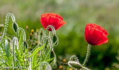 Poppies | It was late afternoon and the sun was coming and going. These poppies caught my eye. / Photo: PapaPiper on Flickr