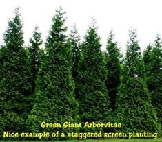 die besten 25 green giant tree ideen auf pinterest schnell wachsende heckenpflanzen. Black Bedroom Furniture Sets. Home Design Ideas