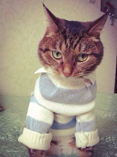 Cat wearing a striped Sweater & shirt Cat Sweaters, Cat Hat, Sweater Shirt, Cats, How To Wear, Shirts, Animals, Gatos, Animales
