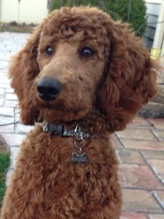 Shelby, at 5 months. Little red standard Poodle who is growing up fast.
