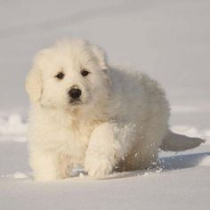 My Great Pyr loves the snow! Can't tell if this cute puppy does or not! :)