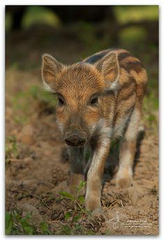Baby Wild Boar-Sus scrofa