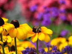 Photo about Honey bee feeding in the beautiful Butchart Gardens in Vancouver Island. Image of canada, buchart, bees - 1283167 Spring Colors, Spring Flowers, Great Places, Places To Go, Buchart Gardens, Vancouver Island, Horticulture, Yellow Flowers, British Columbia