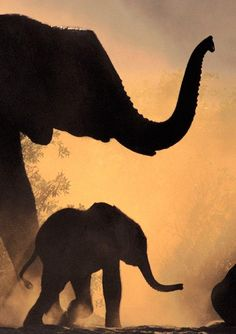 African elephant and young in Chobe National Park, Botswana