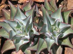 Echeveria subrigida 'Wavy' is a beautiful succulent plants with rosettes of fleshy, spade-shaped leaves that can reach a width of up to...