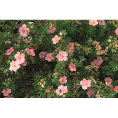 Buskmure 'Pink Beauty' 5 L Høyde 40 cm Rosa Pink, Fruit, Beauty, Gardening, Lawn And Garden, Pink Hair, Beauty Illustration, Roses, Horticulture