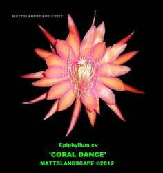 coral_dance_1.jpg 515×547 pixels