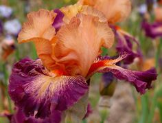 TB Iris germanica 'Chaud Bouquet' (Cayeux, 2013)
