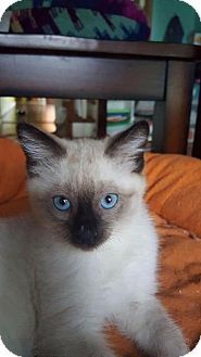 Fenton, MO - Siamese. Meet Malachi, a kitten for adoption. http://www.adoptapet.com/pet/15934556-fenton-missouri-kitten