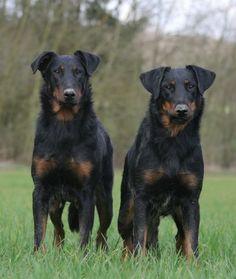 Harlequin beauceron / Beauce Shepherd / Chien Berger de Beauce #Dogs #Puppy