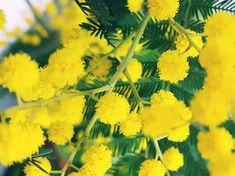 """Les films du Chat Roux (@lesfilmsduchatroux) sur Instagram: """"Un brin de mimosa de la part du Chat Roux pour vous souhaiter une belle et lumineuse semaine."""" #photographierausmartphone #LesfilmsduChatRoux"""