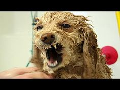 Lustige Hunde hassen zu baden - Hunde mögen nicht  Baden Compilation 201...