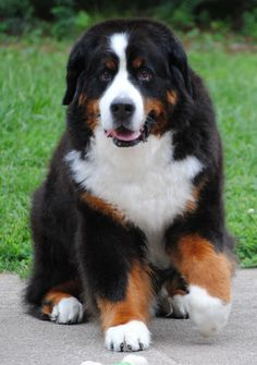 With similar coloring to the Saint Bernard, the #bernesemountain #dog is the only variety of Swiss Mountain Dog that has a long, silky coat.