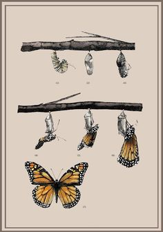 IL·LUSTRACIÈNCIA: Metamorfosis de la mariposa monarca - Belén Rodr...