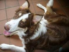 HERSHEY is an adoptable Border Collie Dog in Toronto, ON. HERSHEY is an approx nine month old Red Tri coloured Border Collie, he is very pretty! Hershey was surrendered to a Shelter when his elderly o...