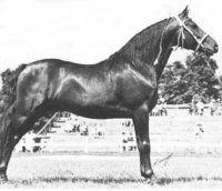 Upwey Ben Don, 1943 Morgan Stallion by Upway King Benn out of Quietude. American Morgan Horse Association
