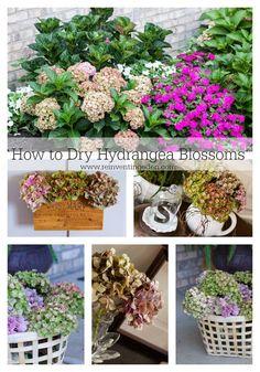 Drying Hydrangea Blossoms
