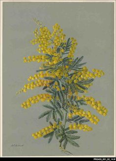 The Cootamundra wattle (Acacia baileyana) was introduced to South Australia from the eastern states as a garden plant. It occurs mainly in the Northern and Southern Lofty regions around the Adelaide Hills. Since it is not native to South Australia it is considered a weed. Rosa Fiveash, 1937.