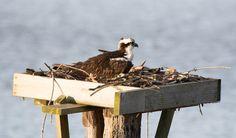 Osprey: 15 March 2015, Leesylvania State Park, Woodbridge, VA, 8:00 a.m., 50 degrees, partly sunny, gusty
