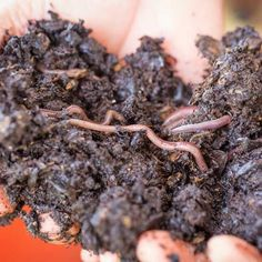 Learn how you can use special composting worms to convert kitchen waste into nutrient-rich compost and liquid fertilizer.