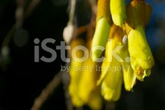 The New Zealand Kowhai Blossom in Soft Focus. Spring Images, Spring Photos, Golden Flower, Medicinal Plants, New Zealand, Medicine, Royalty Free Stock Photos, Bloom, Traditional