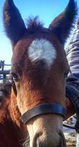 Miss Chilly sporting a brand new latigo baby halter, custom made, just for her! Horse Tack, Horses, Sports, Baby, Animals, Hs Sports, Animales, Animaux, Sport