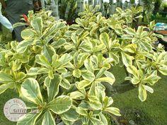 Adenium Obesum Super yellow leaf - Google Search