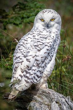 Source: Flickr / drukennedy  #snowy owl