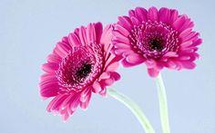 Quickly germinate bonsai flowers seeds 20 Gerbera Daisy (Gerbera Jamesonii Hybrids Mix) Garden Seeds -- Check out this great article. Gerbera Jamesonii, Gerbera Daisy Bouquet, Pink Flowers, Beautiful Flowers, Cosmos Flowers, Simply Beautiful, Daisy Wallpaper, Wallpaper Ideas, Gardens