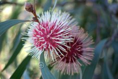 The distinctive Pin Cushion Flower of Hakea laurina - Mallee Design
