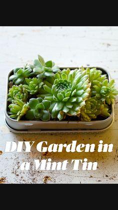 Succulent Planter Diy, Succulent Gardening, Succulent Care, Succulent Arrangements, Succulent Ideas, Indoor Gardening, Growing Succulents, Succulents In Containers, Cacti And Succulents