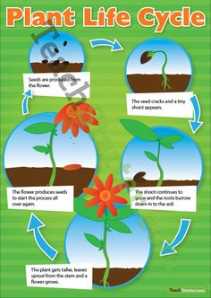 Plant Life Cycle Poster | Teach Starter - Teaching Resources
