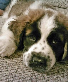 Juno the Saint Bernard