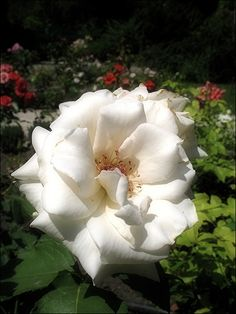 Lady in White, Rose