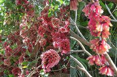 Viveiro Ciprest - Plantas Nativas e Exóticas: Tecomante Rosa ( Tecomanthe dendrophila )