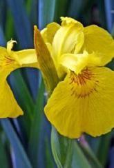 Iris pseudacorus - Plants
